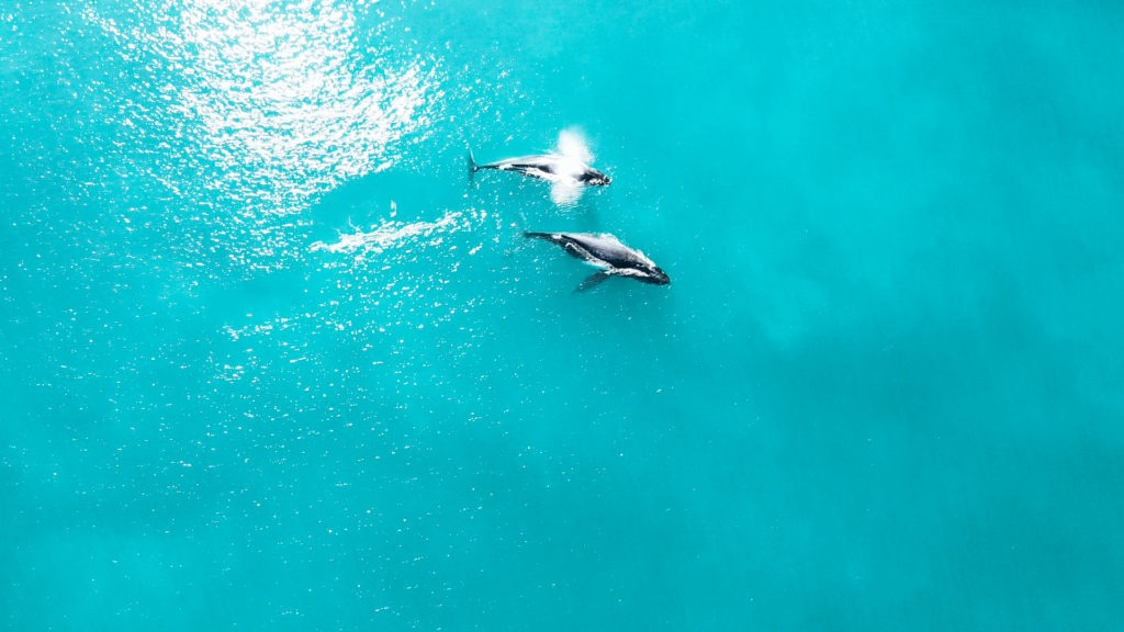 baleine îles Whitsunday en australie