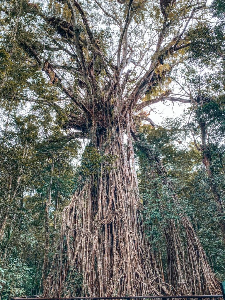 fige tree australie