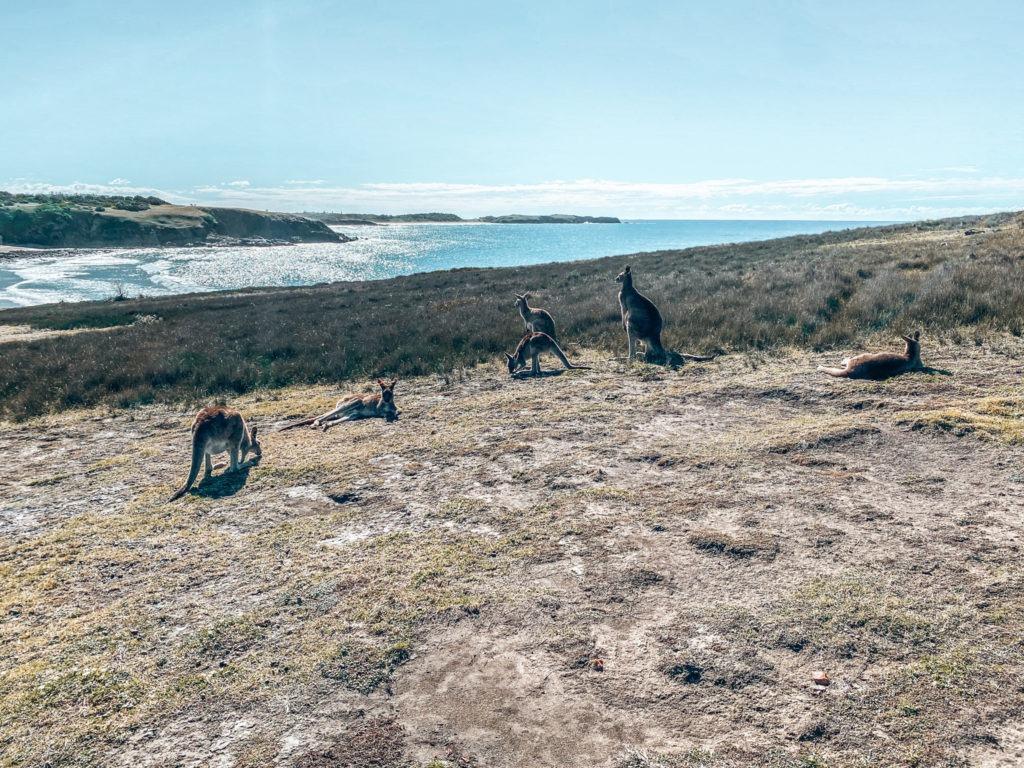 kangourou plage oad trip côte est en australie